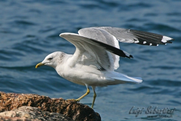 Gull, common (mew gull)
