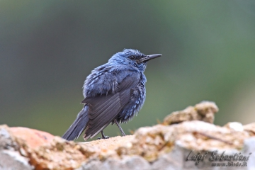 Thrush, blue rock
