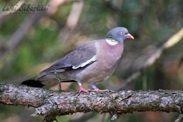Pigeon, (common) wood