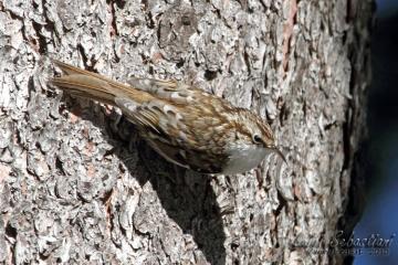 Treecreeper (eurasian)