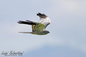 Harrier, montagu's