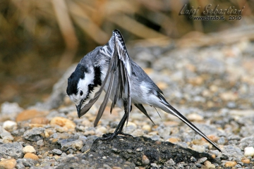 Wagtail, white