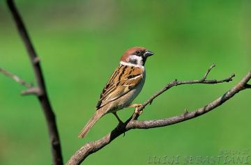 Sparrow, tree