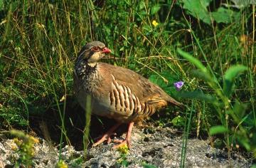 Partridge, red-legged