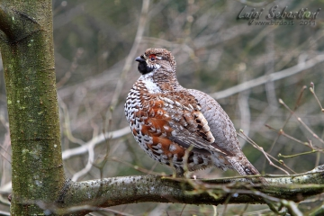 Grouse, hazel