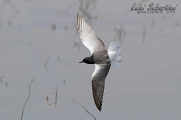 Tern, white-winged