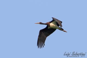 Stork, black