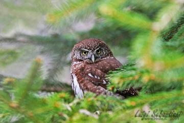 Owl, pigmy