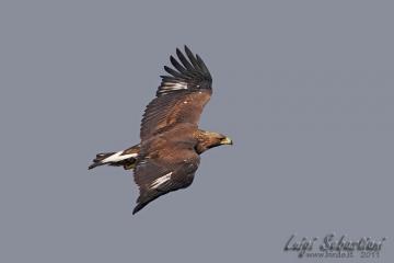 Eagle, golden