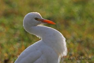 Egret, cattle