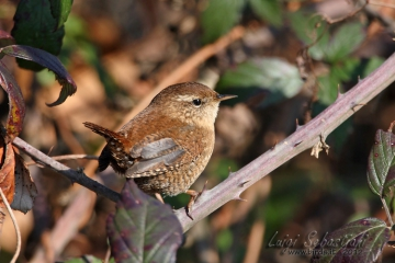 Wren (winter)