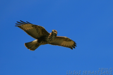 Buzzard (common)