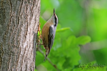 Nuthatch (european)