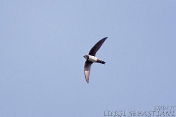 Swift, alpine