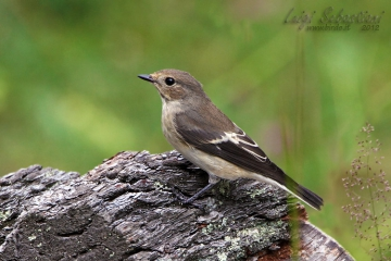Flycatcher, pied
