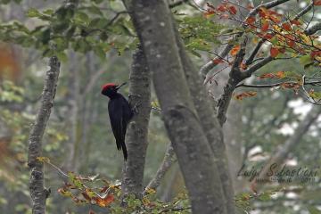 Woodpecker, black
