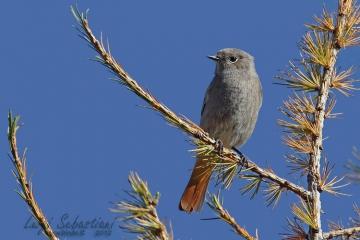 Redstart, black