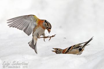 Bergfink oder nordfink