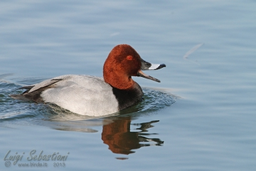 Pochard (common)