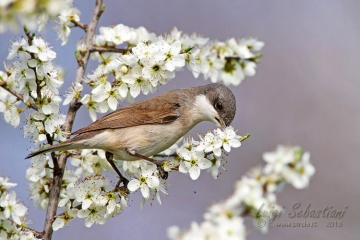 Whitethroat, lesser