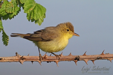 Warbler, melodious