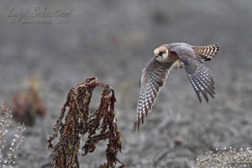 Falcon, red-footed