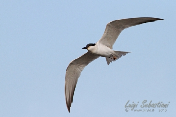 Tern, gull-billed
