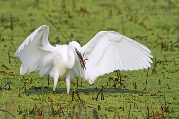 Egret, little