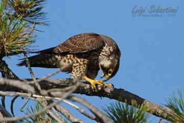 Falco pellegrino