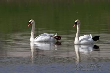 Swan, mute