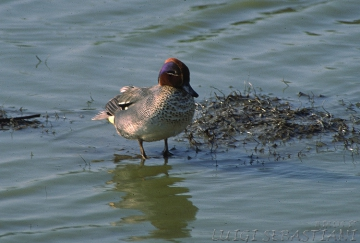 Teal (common)