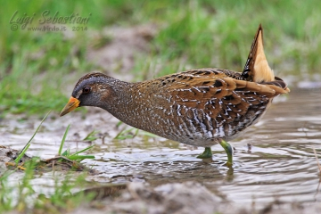 Crake, spotted
