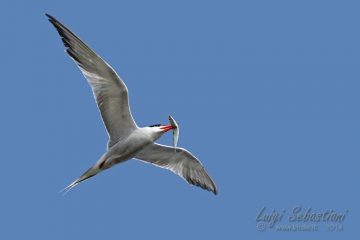Tern (common)