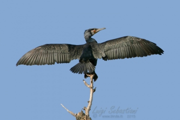 Cormorant, great