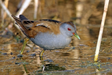 Crake, little