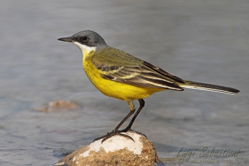 Wagtail, ashy-headed