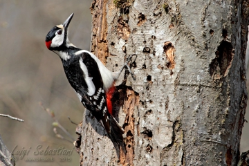 Woodpecker, great spotted