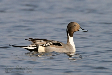 Pintail (northern)