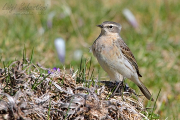 Pipit, water