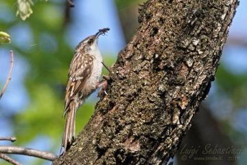Treecreeper, short-toed