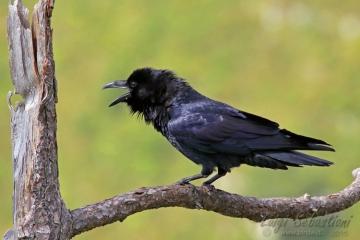 Raven (common)