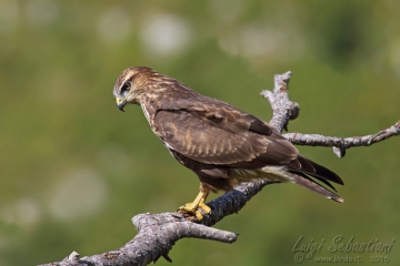 Buse variable