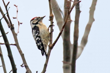 Woodpecker, lesser spotted