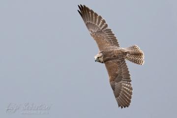 Sacro (Falco sacro)