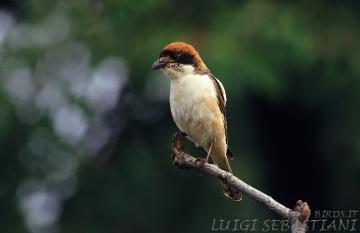 Shrike, woodchat