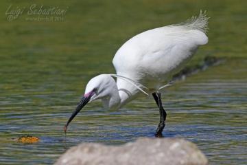 Egret, little