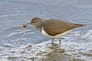 Sandpiper (common)