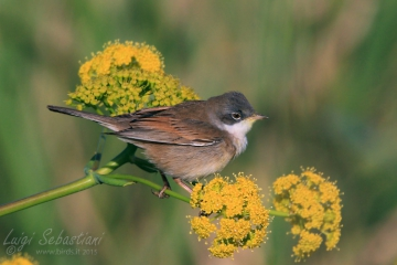 Whitethroat (common)