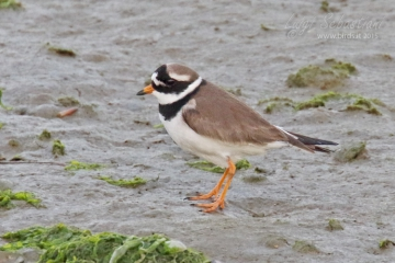 Plover, (common) ringed