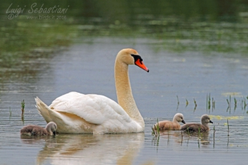 Cisne vulgar